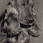 Кукер спаниель 150x150 - Собаки чёрно-белые