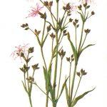 Кукушкин цвет 150x150 - Цветы