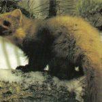 Куница  150x150 - Другие животные