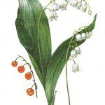 Ландыш майский 150x150 - Цветы