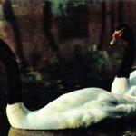 Лебедь черношейный 150x150 - Птицы
