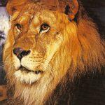 Лев  150x150 - Другие животные
