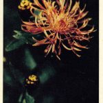 Лесной василёк 150x150 - Цветы