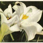 Лилии 10 150x150 - Цветы