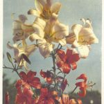 Лилии 12 150x150 - Цветы