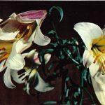 Лилии 2 150x150 - Цветы