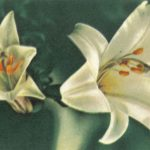 Лилии 4 150x150 - Цветы