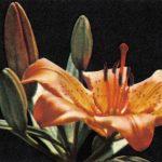 Лилии 7 150x150 - Цветы