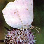 Лимонница  150x150 - Бабочки