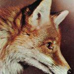 Лисица  150x150 - Другие животные