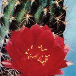 Лобивия изменчивая вариант красно белая 150x150 - Цветы