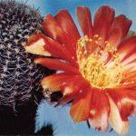 Лобивия фаматинская 150x150 - Цветы