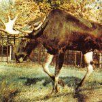 Лось  150x150 - Другие животные