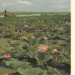 Лотосы на оз. Вэйшаньху 150x150 - Пейзажи