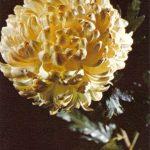 Луна 150x150 - Цветы