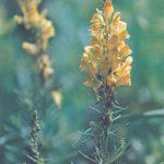 Льнянка обыкновенная 150x150 - Цветы