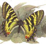 Людорфия дальневосточная  150x150 - Бабочки