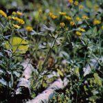 Лютики 150x150 - Цветы