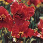 Маки 2 150x150 - Цветы