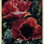 Мак альпийский 150x150 - Цветы