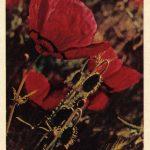 Мак восточный 150x150 - Цветы