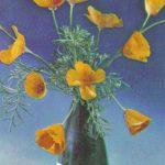 Мак калифорнийский 150x150 - Цветы