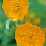 Мак ложносероватый 150x150 - Цветы