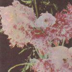 Мак махровый 150x150 - Цветы