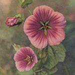 Мальва 150x150 - Цветы