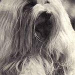 Мальтийская болонка 1 150x150 - Собаки чёрно-белые