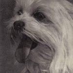 Мальтийская болонка 2 150x150 - Собаки чёрно-белые