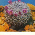 Маммиллярия Брауне 150x150 - Цветы