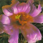 Маммиллярия Суингла 150x150 - Цветы