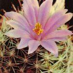Маммиллярия Шеллона 150x150 - Цветы