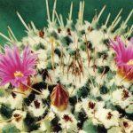 Маммиллярия крупнососочковая 150x150 - Цветы