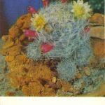 Маммиллярия побегоносная 150x150 - Цветы