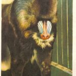 Мандрил 150x150 - Ленинградский Зоопарк