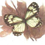 Маньчжурская клетчатая бархатница  150x150 - Бабочки