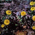 Мать и мачеха 150x150 - Цветы