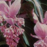 Мединилла великолепная 150x150 - Цветы