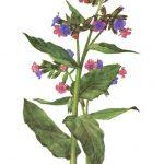Медуница 150x150 - Цветы