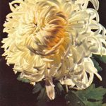 Мефо белый 150x150 - Цветы
