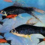 Меченосец вильчатый 150x150 - Аквариумные рыбки