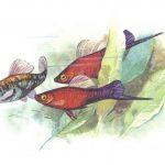 Меченосец 150x150 - Аквариумные рыбки