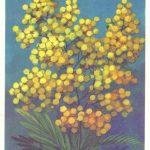 Мимоза 150x150 - Цветы