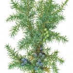 Можжевельник обыкновенный 150x150 - Различные растения
