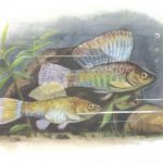 Моллинезия парусная 150x150 - Аквариумные рыбки