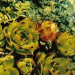Молодило шарообразное 150x150 - Цветы