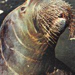 Морж  150x150 - Другие животные