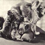 Московские длинношерстные той терьеры 150x150 - Собаки чёрно-белые